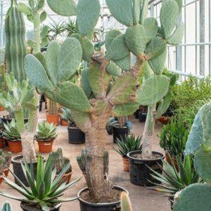 Кактус опунция инжирная «indica» (высота 2 метра)