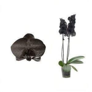Орхидея фаленопсис черная
