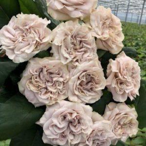Пионовидные розы «Westminster Abbey» 60-70см (поштучно)