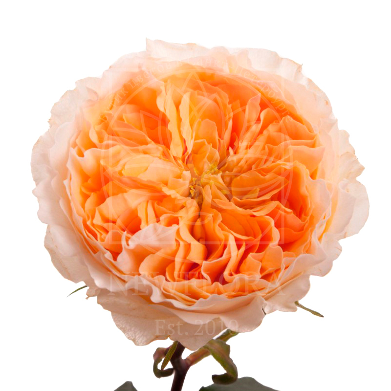 Пионовидные розы «beatrice» 50-60см (поштучно)