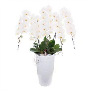 Орхидея фаленопсис «japanese mountain» (высота 150см)
