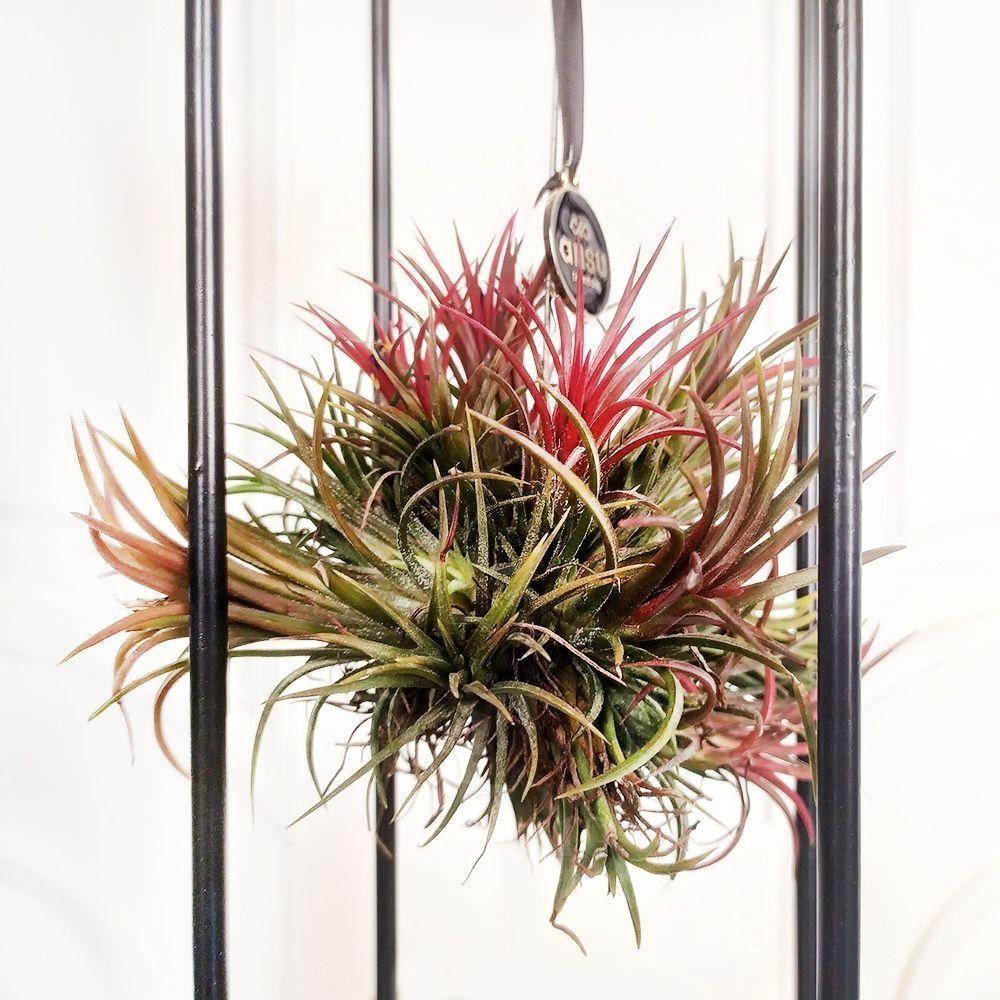 Тилландсия подвесная с красным цветком (10×26см)