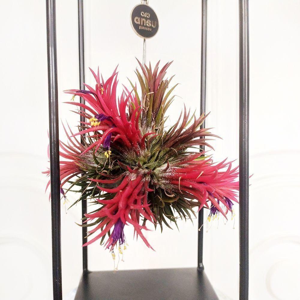 Тилландсия подвесная с красным цветком (11×31см)