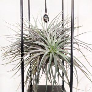 Тилландсия подвесная «silver» (12×31см)