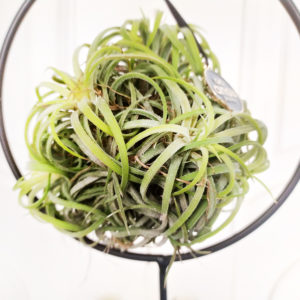 Тилландсия подвесная зеленая (17×24см)