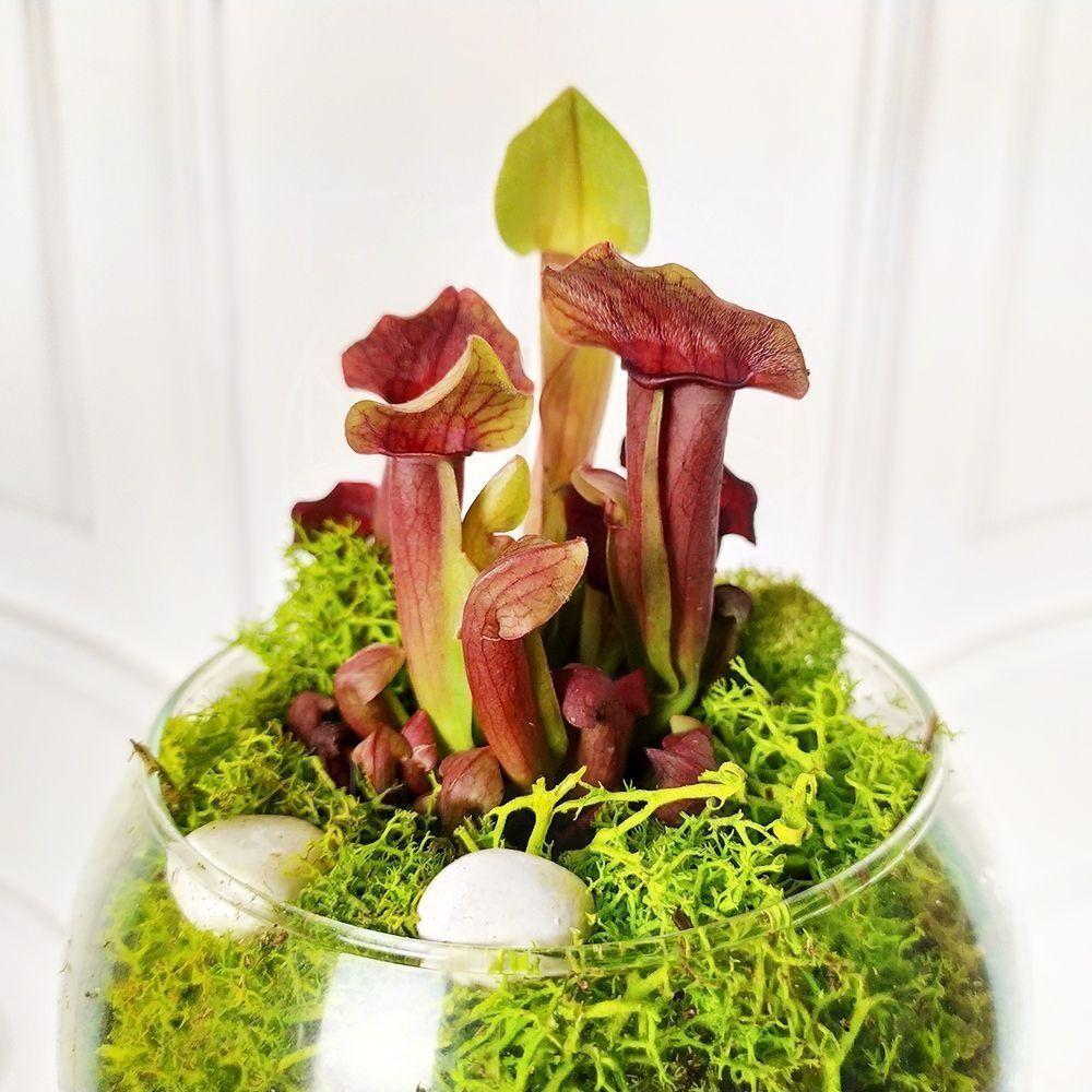 Саррацения «мухоловка» в вазе