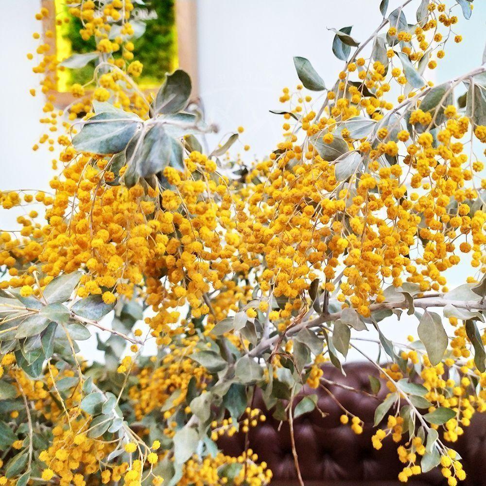 Мимоза гигант высотой 150см (сухоцвет)