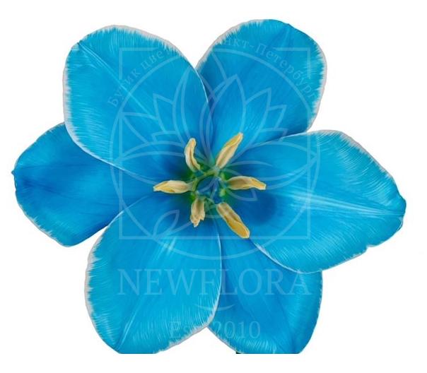 Голубые тюльпаны 35-40см (поштучно)
