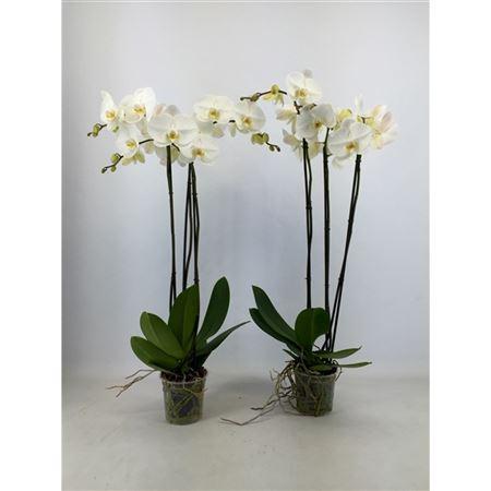 Орхидея фаленопсис белая «Fortuno Largo» (высота 110см)