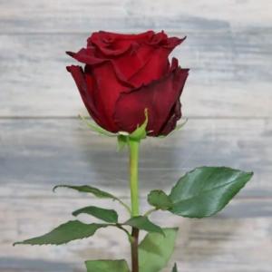 Крупные бордовые розы Explorer 60-70см (Юж. Америка)