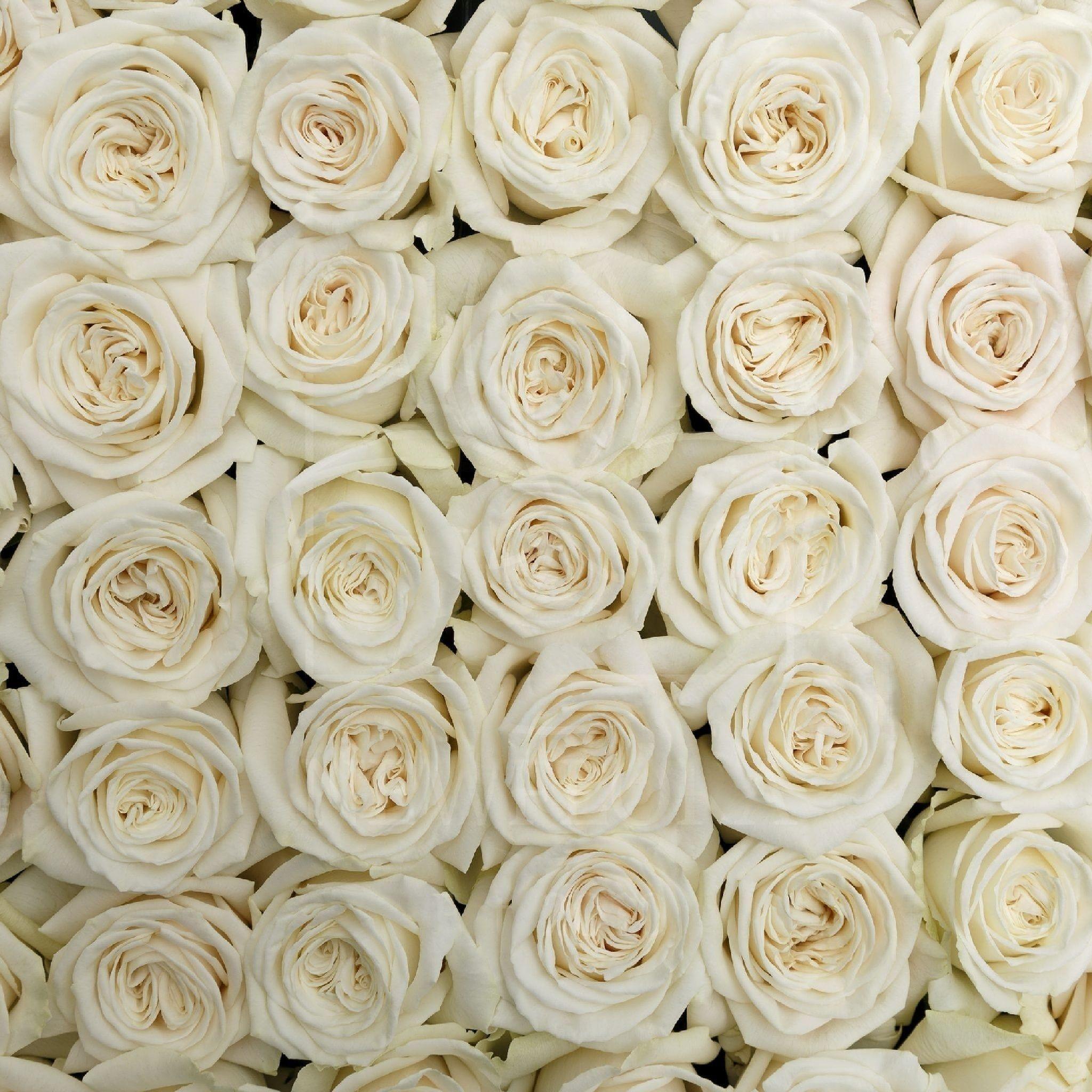 Белоснежные розы Playa Blanca поштучно (Юж. Америка)