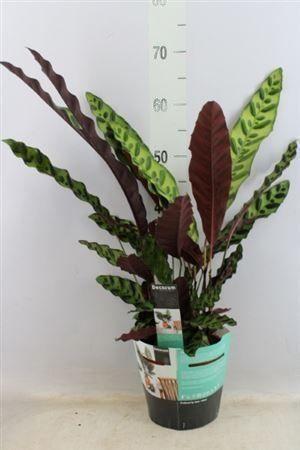 Калатея «lancifolia insigne» (высота 70см)