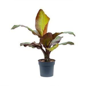 Банановое дерево Энсета «ventricosum maurelii» (высота 100-120см)