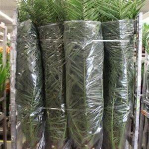 Финиковая пальма «phoenix canariensis» (высота 175см)