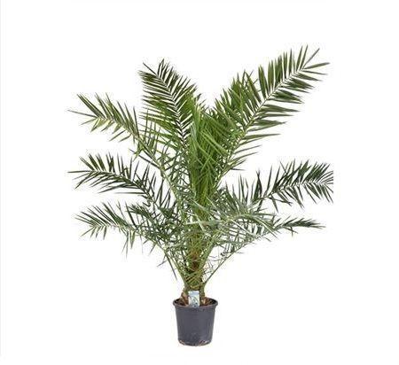 Финиковая пальма «phoenix canariensis» (высота 170см)