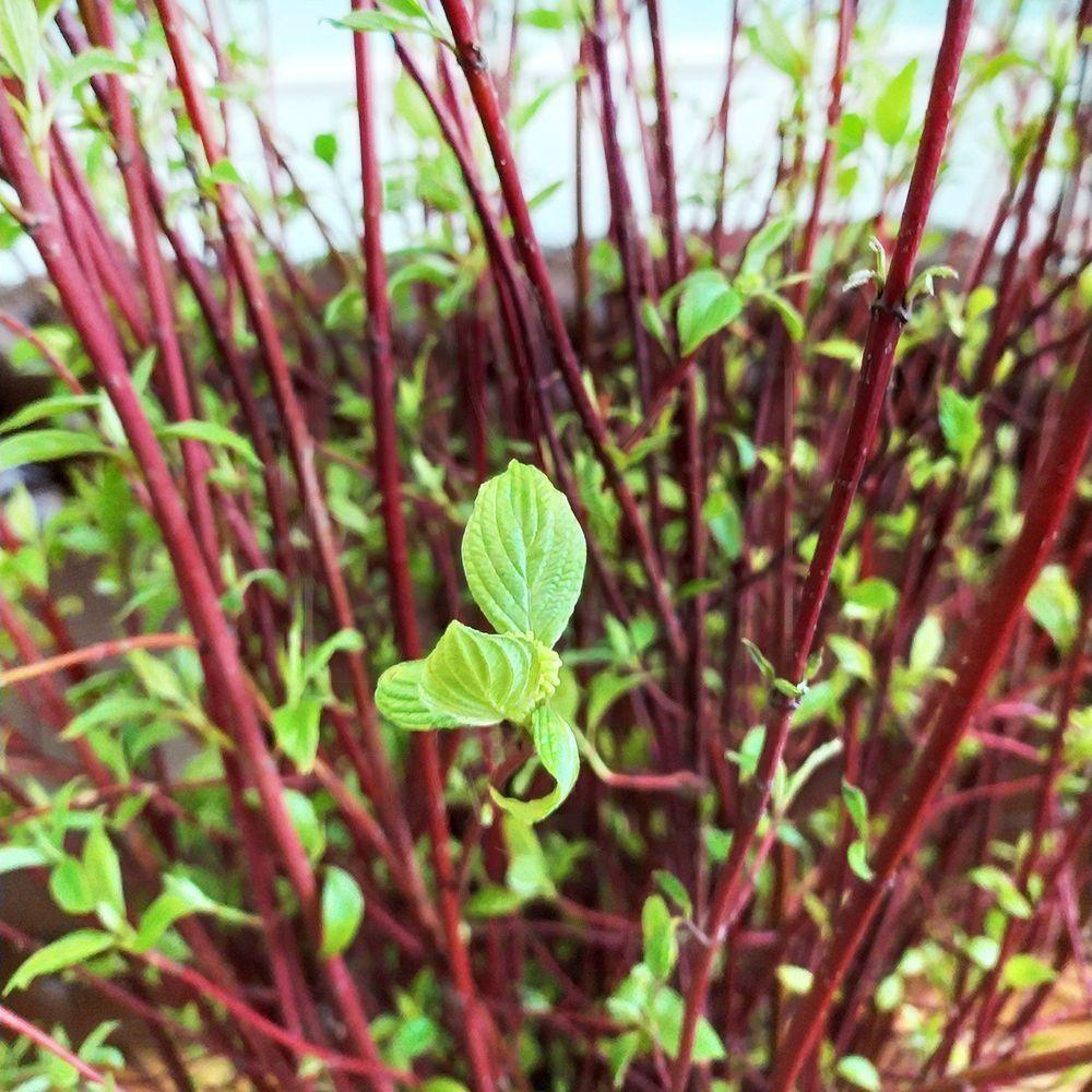 Краснотал цветущие ветки 120-140см (поштучно)