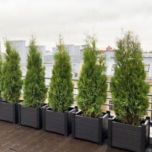 Туя «Holmstrup» живая изгородь из 20 деревьев (пример)